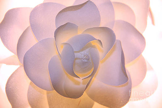 White and Pink Flower by Rachel Duchesne