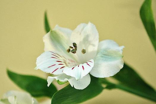 White Beauty by Cathie Tyler