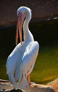 Great White Pelican by Farah Faizal