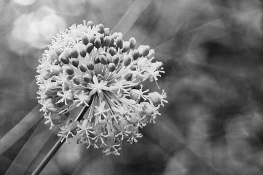 White Bloom  by Slava Shamanoff
