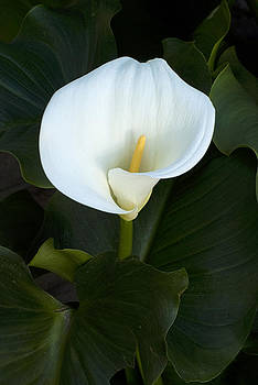 White Calla Lily by Christopher Brown