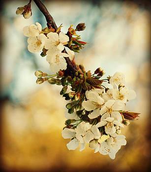 White Cherry Blossoms by Martha Hughes