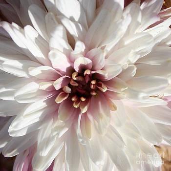 White Chrysanthemum   by Heinz G Mielke