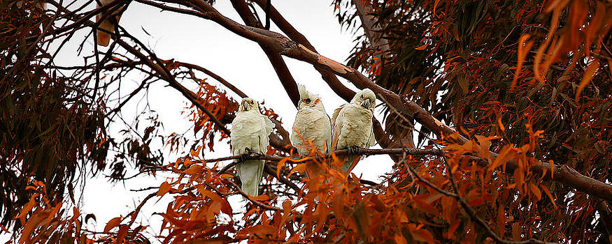 White Cockatoo by Jimmy Chong