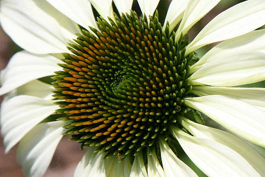 White Coneflower Daisy by Donna Corless