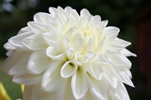 Annie Babineau - white dahlia