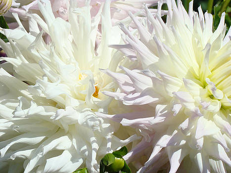 Baslee Troutman - White Dahlia Flowers art prints Floral