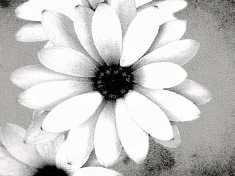 White Daisy by Tammy Espino