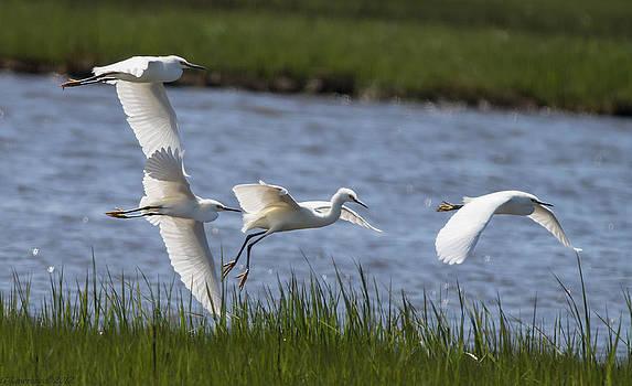 White Egret Glide by Glenn Lawrence