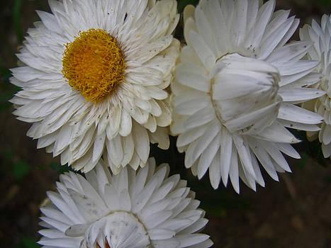 Michelle Cruz - White Flowers