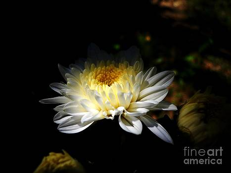 White Guldaudi flower by Hari Om Prakash
