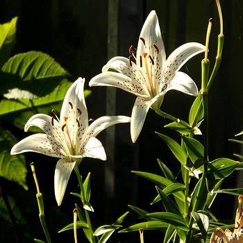 White Lillies by Diane Ellingham