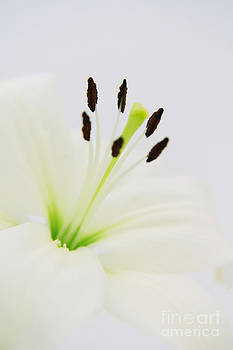 Angela Doelling AD DESIGN Photo and PhotoArt - White lily
