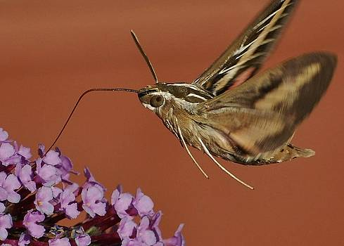 Joy Bradley - White -lined Sphinx Hummingbird Moth