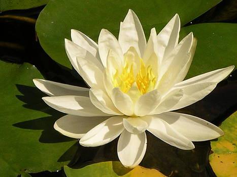 White Lotus by Monica Cranswick