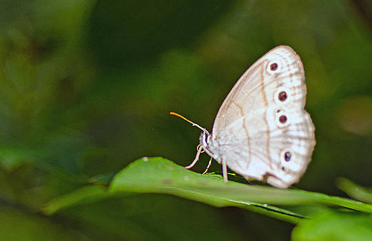 White Morpho butterfly by Cheryl Cencich