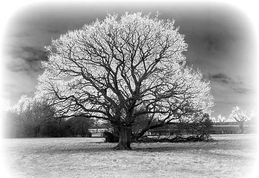 White Oak  by Ian Flear
