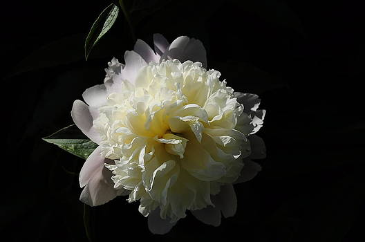 White on Black Peony by Fred Zilch