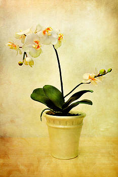 Zoran Buletic - White Orchid