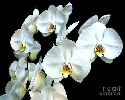 Anne Ferguson - White Orchids