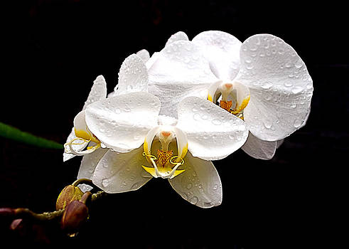 White Orchids by Brian Hughes