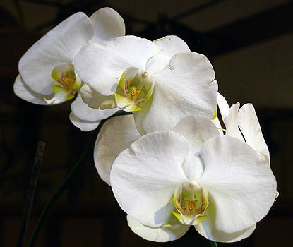 White Orchids by Sally Stevens