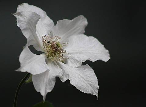 Cathie Douglas - White Perfection