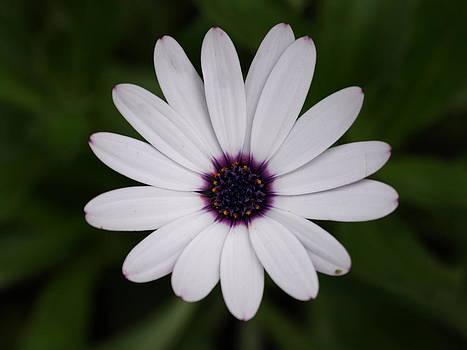 White Petals by Carol Evans