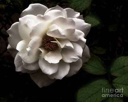 Anne Ferguson - White Rose