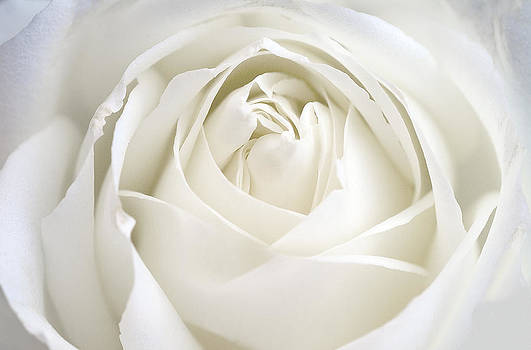 White Rose by Christopher Brown