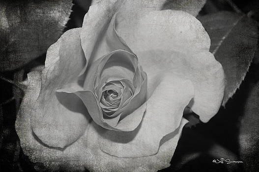 White Rose by Jeff Swanson
