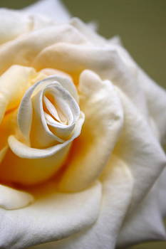 White Rose by Tanya Peters