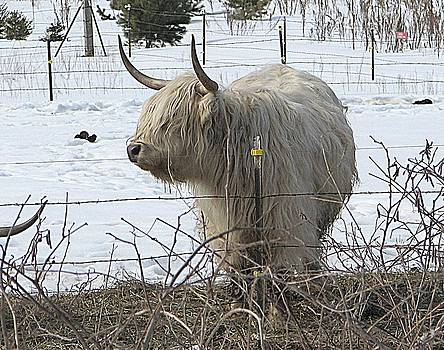 White Scottish Highlander by Victoria Sheldon
