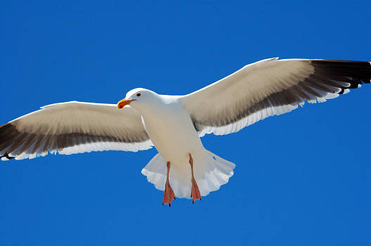 White Seagull bird flying by Bhupendra Singh