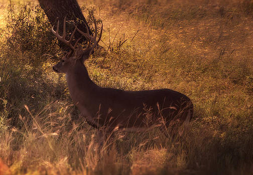 White Tail Buck by Kelly Rader