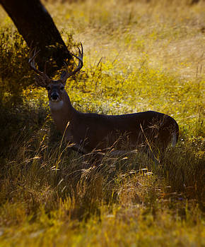 White Tail by Kelly Rader