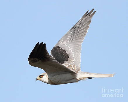 Wingsdomain Art and Photography - White-Tailed Kite Hawk In Flight . 7D11112