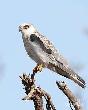 Wingsdomain Art and Photography - White-Tailed Kite Hawk Perched . 7D11090-1