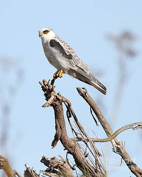 Wingsdomain Art and Photography - White-Tailed Kite Hawk Perched . 7D11090-2