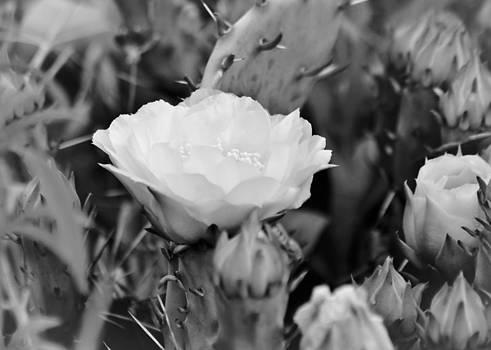 White by Teresa Dixon