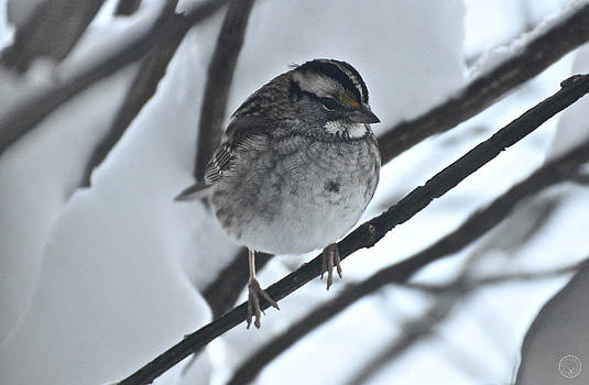 White-throated sparrow II by Healing Woman