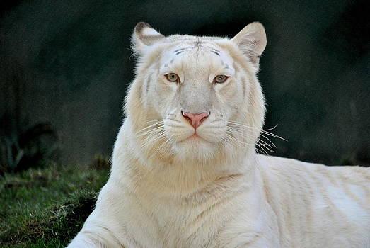 White Tiger by Eleu  Tabares