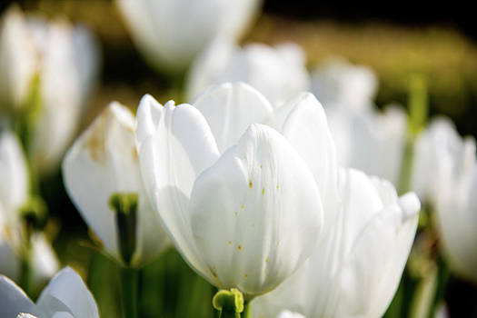 White Tulip by Nils Creque