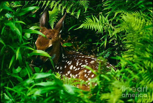 Whitetail Fawn and Ferns by Joe Elliott