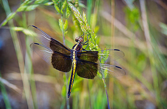 Barry Jones - Widow Dragonfly