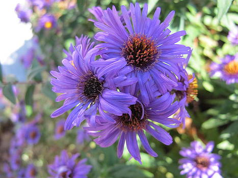 Wild Asters in Purple by Michaline  Bak