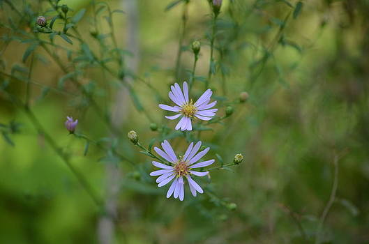 Wild Blue Aster by Jennifer  King