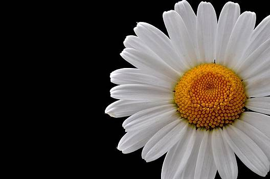 Wild Daisy by Picturegallery