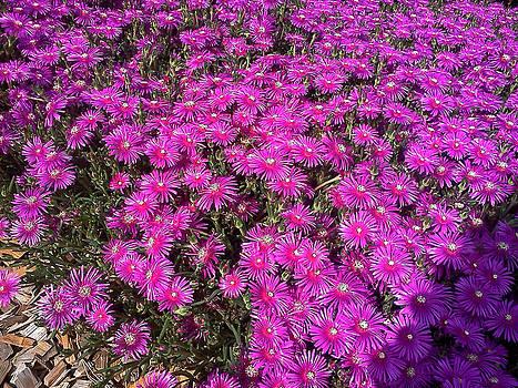 Wild Flowers  by Maia Nara