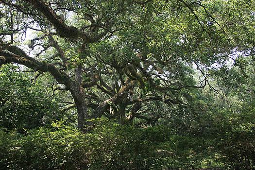 Wild Oaks by John Michael Sudol